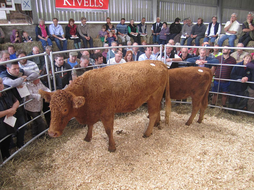 Trevassack Pride 330 with her heifer calf sold for top price of 3,000gns