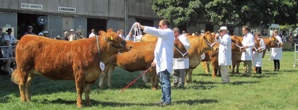 Royal Norfolk 2015 - two year old heifer class